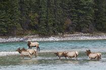 Rocky Mountain Elk Herd von Danita Delimont