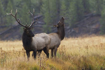 Rocky Mountain Bull Elk with Cow, autumn rain by Danita Delimont
