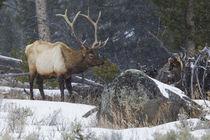 Rocky Mountain Bull Elk, late winter by Danita Delimont