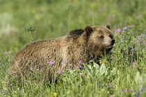 Grizzly Bear, alpine foraging by Danita Delimont