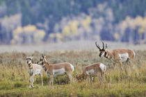 Pronghorn Antelope Buck and Does by Danita Delimont