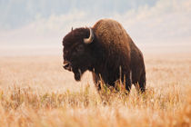 American Bison herd in Teton National Park, Wyoming, USA. von Danita Delimont