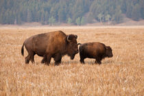 American Bison cow and calf in Teton National Park, Wyoming, USA. von Danita Delimont