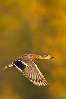 Mallard Duck in autumn. by Danita Delimont