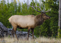 Elk near Lake Village, Yellowstone National Park, Wyoming, USA. von Danita Delimont