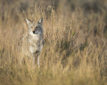 Mountain Coyote, Canis latrans lestes, Grand Teton National ... by Danita Delimont