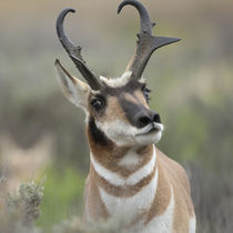 Pronghorn buck showing territorial behavior, Antilocapra ame... von Danita Delimont