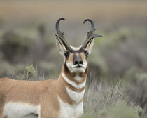 Pronghorn buck showing territorial behavior, Antilocapra ame... by Danita Delimont