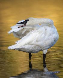 Trumpeter Swan preening, Cygnus buccinator, reintroduced to ... von Danita Delimont