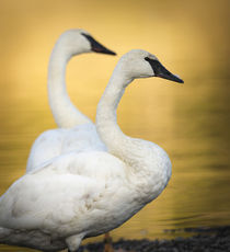 Trumpeter Swans, Cygnus buccinator, reintroduced to the Yell... by Danita Delimont