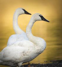 Trumpeter Swans, Cygnus buccinator, reintroduced to the Yell... von Danita Delimont