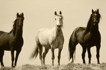 USA, Wyoming, Young wild stallions at head of Alkali Creek n... by Danita Delimont