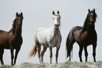 USA, Wyoming, Young wild stallions at head of Alkali Creek n... von Danita Delimont