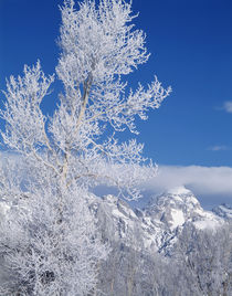 USA, Wyoming, Grand Teton National park, Cottonwood tree in winter by Danita Delimont