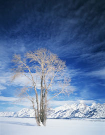 USA, Wyoming, Cottonwood tree in winter von Danita Delimont