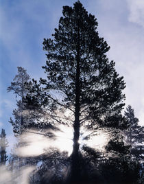 USA, Wyoming, Yellowstone National Park, View of sunbeam through trees von Danita Delimont