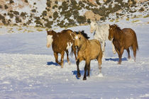 Horses Running in Snow by Danita Delimont