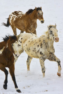 Horses running in The Snow by Danita Delimont