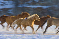 Horses running in The Snow von Danita Delimont