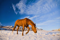 Horse Running in Snow by Danita Delimont