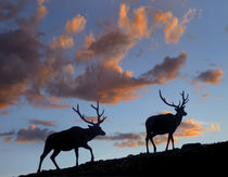 Bull elks silhouetted against the sunrise, Wyoming, USA von Danita Delimont