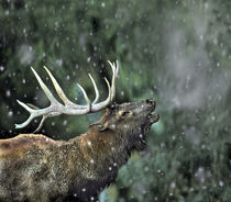 Elk Bugling Wyoming, USA von Danita Delimont