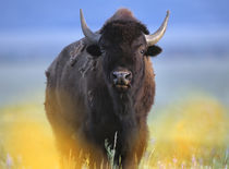 Bison, Wyoming, USA von Danita Delimont