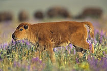 Bison baby walking through a field of flowers, Wyoming, USA by Danita Delimont