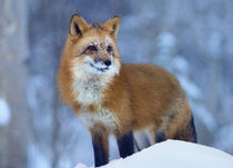 Red fox in snow, Wyoming, USA by Danita Delimont