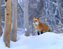 Red fox in snowy birch forest, Wyoming, USA von Danita Delimont
