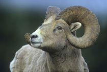 Rocky Mountain bighorn sheep, Wyoming, USA by Danita Delimont