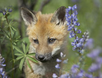 Baby red fox in wildflowers, Wyoming, USA by Danita Delimont