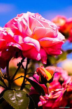 Rose-1-von-1