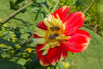 Fleißige Bienchen  by Christoph  Ebeling