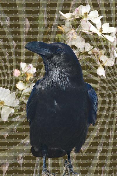 Dornenvogelok