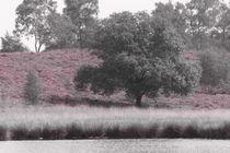 Heideblüte in den Maasdünen-5 by maja-310
