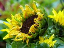Sonnenblume - 3 von maja-310