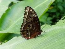 Schmetterling-1 von maja-310