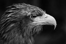 Adler 3  by haike-hikes