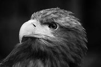 Adler 5 by haike-hikes