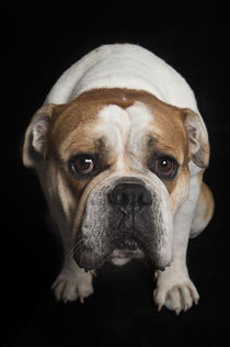 Vintage English Bulldog / 1 von Heidi Bollich