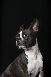 Boston Terrier / 1 von Heidi Bollich