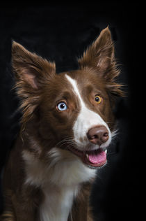 Border Collie / 1 von Heidi Bollich