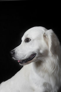 Golden Retriever / 1 von Heidi Bollich