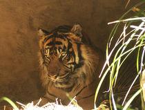Sumatra Tiger von maja-310