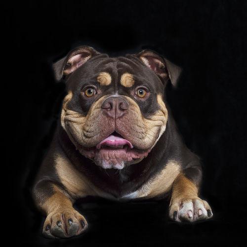 Dsc-7781-dot-oldengl-dot-bulldog1-dot-2-09-17