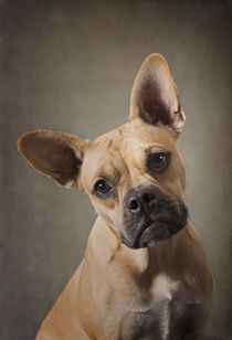 Französische Bulldogge / 9 by Heidi Bollich
