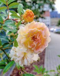 Rosen in der Stadt by Antje Krenz