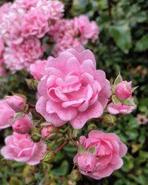 Rosen im Spätsommer by Antje Krenz