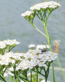 Wiesenblume im Wind  von Antje Krenz
